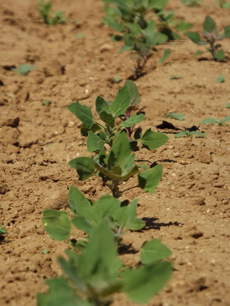 La production de quinoa, une culture nutritive et durable originaire des Andes, traverse l'océan et s'installe au Maroc. |The Switchers