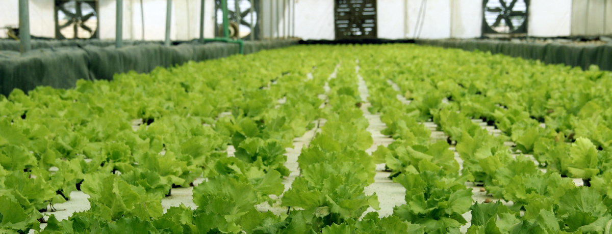 Life on Mars: Soilless agriculture stirs up a revolution in Egypt |The Switchers