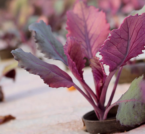 Red Cabbage: Sometimes food can simply look way too good to eat, but only until you get to taste it.