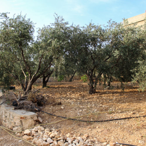 Olive groves in North Lebanon