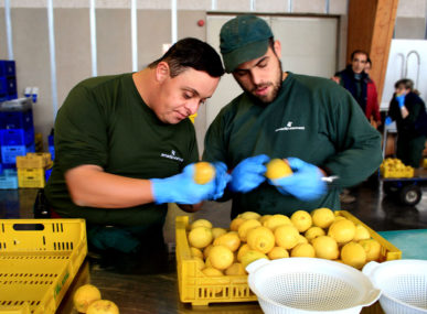 Inspecting the lemons for Pep Lemonade