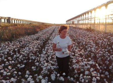 Cotton crops grown via Intergrated Production