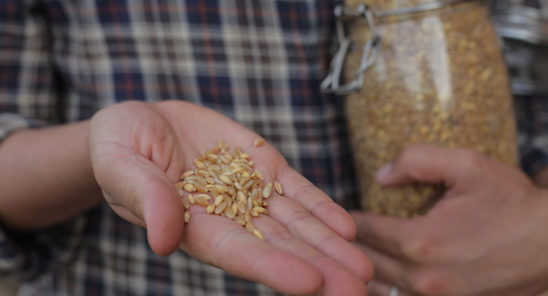 Wheat seeds from a local farmer