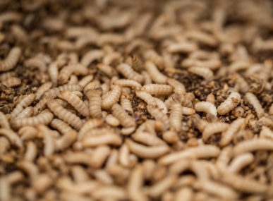 Fly larvae are pulverized and turned into protein powder that can feed livestock, fish and pets