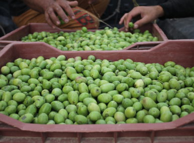Olive produce from the Dibeen farm